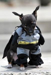 A dog dressed as Batman participates in