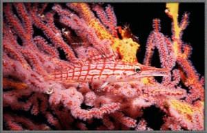 PNG-Tartan hawkfish aqmid coral polyps