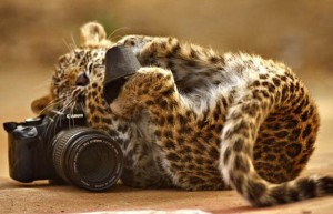 Amazing pictures of the.. cheeky wild leopard cub who made-off with a wildlife photgrapher's camera...  .. The claws were out for this feline fashion shoot when baby Lakshimi dashed over.. to an unguarded camera at a nature reserve...  .. The cheeky cat seized on her chance to turn the tables on a crew sent to.. photograph her at the Ranthambhore national park, India.  mail_sender pix@caternews.com  mail_subject Pictures of Leopard with Camera  mail_date Wed, 23 Sep 2009 09:30:18 +0100 (BST)  mail_body  Have a nice day harvey