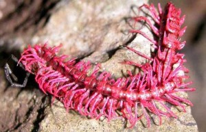 dragon_millipede_ Desmoxytes_purpurosea_2007_from Lansak_district_ UthaithaniProvinceThailandSomsakPanha.jpg