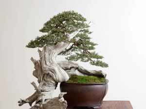 "The deadwood on a Rocky Mountain juniper is rapidly becoming a highly prized feature of the species. ""It was once thought to be an impossible subject for bonsai,"" Neil says. (courtesy Bonsai Mirai)"